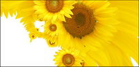 Sunflower picture background material-12